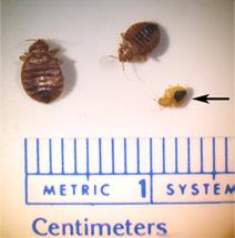 bed bug size indicator